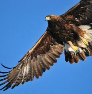 golden-eagle-1665317_640-300x308.jpg